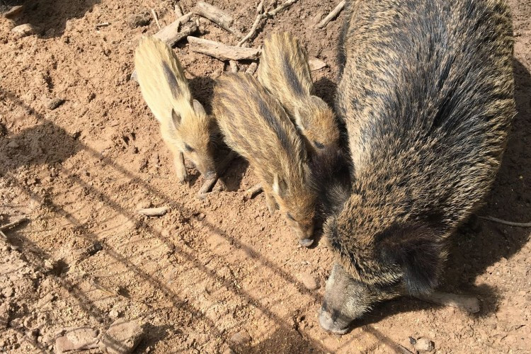 Wild Boars in Animal Preserve