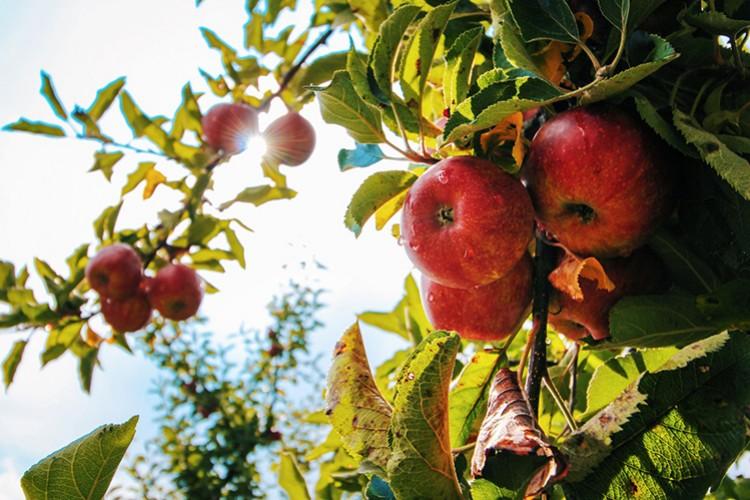 Reife Äpfel (© Tom Swinnen/pexels.com)